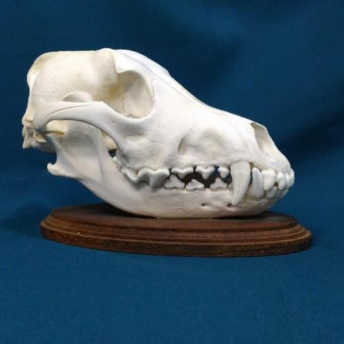 狼の頭蓋骨